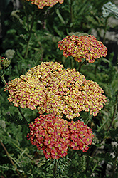Desert Eve™ Terracotta Yarrow (Achillea millefolium 'Desert Eve Terracotta') at Squak Mountain Nursery