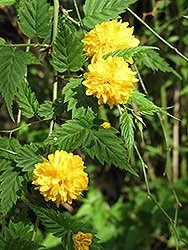 Double Flowered Japanese Kerria (Kerria japonica 'Pleniflora') at Squak Mountain Nursery