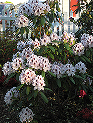 Calsap Rhododendron (Rhododendron 'Calsap') at Squak Mountain Nursery