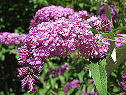 Petite Plum Butterfly Bush (Buddleia davidii 'Petite Plum') at Squak Mountain Nursery