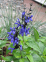 Black And Blue Anise Sage (Salvia guaranitica 'Black And Blue') at Squak Mountain Nursery