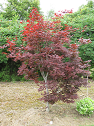 Red Emperor Japanese Maple (Acer palmatum 'Red Emperor') at Squak Mountain Nursery