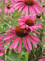 Ruby Star™ Coneflower (Echinacea purpurea 'Rubinstern') at Squak Mountain Nursery