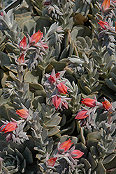 Topsy Turvy Echeveria (Echeveria runyonii 'Topsy Turvy') at Squak Mountain Nursery
