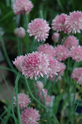 Forescate Chives (Allium schoenoprasum 'Forescate') at Squak Mountain Nursery