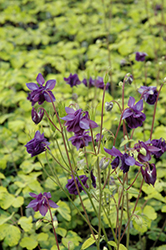 Leprechaun Gold Columbine (Aquilegia 'Leprechaun Gold') at Squak Mountain Nursery