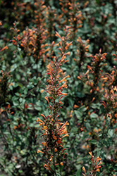 Kudos™ Mandarin Hyssop (Agastache 'Kudos Mandarin') at Squak Mountain Nursery