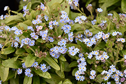 Victoria Blue Forget-Me-Not (Myosotis sylvatica 'Victoria Blue') at Squak Mountain Nursery