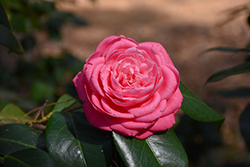 Japanese Camellia (Camellia japonica) at Squak Mountain Nursery