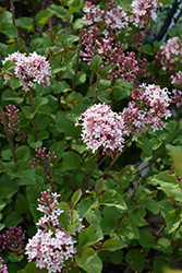 Bloomerang® Pink Perfume Lilac (Syringa 'Pink Perfume') at Squak Mountain Nursery