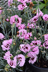 Early Bird™ Fizzy Pinks (Dianthus 'Wp08 Ver03') at Squak Mountain Nursery