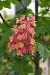 Fort McNair Red Horse Chestnut (Aesculus x carnea 'Fort McNair') at Squak Mountain Nursery