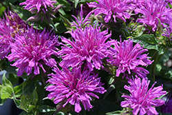 Balmy Lilac Beebalm (Monarda didyma 'Balbalmac') at Squak Mountain Nursery