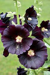 Black Hollyhock (Alcea rosea 'Nigra') at Squak Mountain Nursery