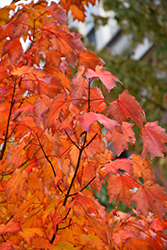 Bowhall Red Maple (Acer rubrum 'Bowhall') at Squak Mountain Nursery
