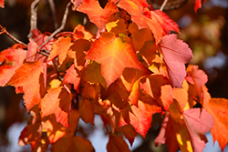 Red Maple (Acer rubrum 'var. rubrum') at Squak Mountain Nursery