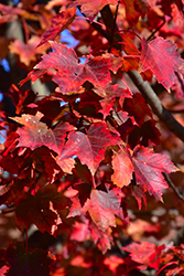 Autumn Flame Red Maple (Acer rubrum 'Autumn Flame') at Squak Mountain Nursery