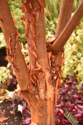 Paperbark Maple (Acer griseum) at Squak Mountain Nursery