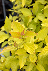 Neon Burst™ Dogwood (Cornus alba 'ByBoughen') at Squak Mountain Nursery