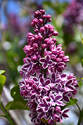 Sensation Lilac (Syringa vulgaris 'Sensation') at Squak Mountain Nursery
