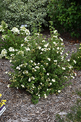 Creme Brulee™ Potentilla (Potentilla fruticosa 'Bailbrule') at Squak Mountain Nursery