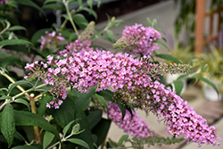 Pink Delight Butterfly Bush (Buddleia davidii 'Pink Delight') at Squak Mountain Nursery