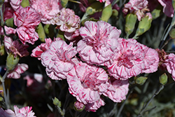 Devon Cottage™ Pinball Wizard Pinks (Dianthus 'WP15 MOW08') at Squak Mountain Nursery