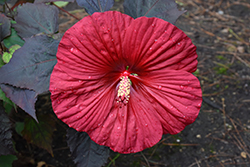 Summerific® Holy Grail Hibiscus (Hibiscus 'Holy Grail') at Squak Mountain Nursery