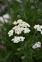 Common Yarrow (Achillea millefolium) at Squak Mountain Nursery